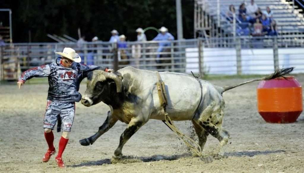 suhls rodeo bull chasing cowboy